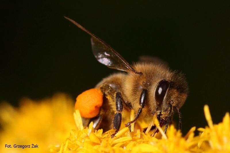 IS_Pszczółka pracująca