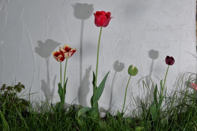 tulipanynatura (1)